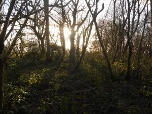 Spong Wood