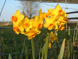 These were always my favourite daffodils as a child!