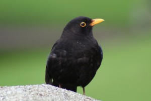 Blackbird Blog_Blackbird